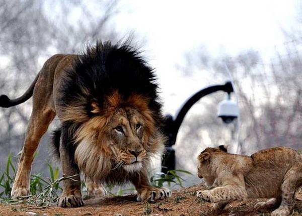 Хищники в дикой природе. Фото с сайта new.ba-bamail.co.il
