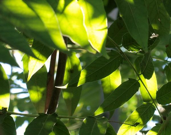 Дерево Айлант – «дерево богов». Фото: Хава ТОР/Великая Эпоха