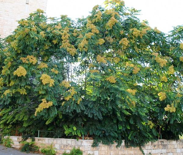 айлант дерево фото