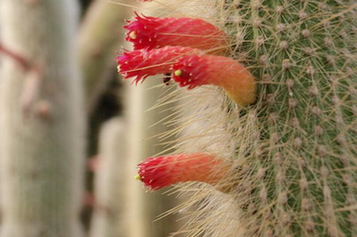 Кактусы в цвету. Фото: Хава Тор/Великая Эпоха (The Epoch Times)