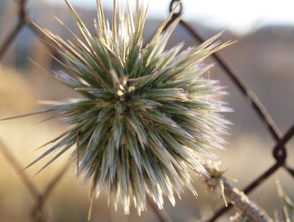 О диких растениях «золотого» города. Мордовник или Ежик (Echinops). Фото: Хава ТОР/Великая Эпохп