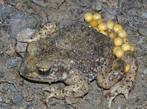 Десять самых заботливых отцов среди животных. Лягушки и жабы. Фото с сайта ba-bamail