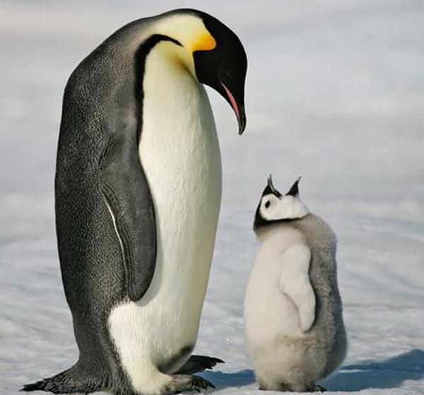 Десять самых заботливых отцов среди животных. Императорский пингвин. Фото с сайта ba-bamail