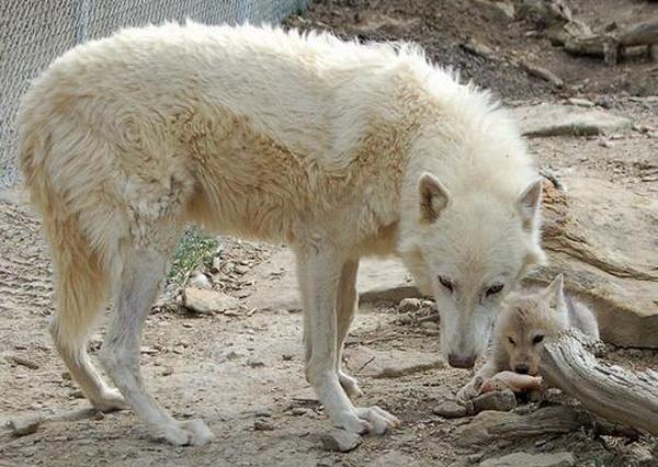 Десять самых заботливых отцов среди животных. Волк. Фото с сайта ba-bamail