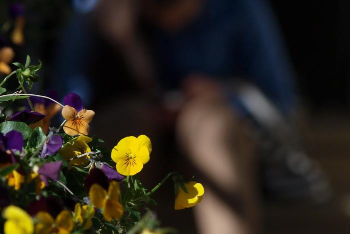 Анютины глазки. Фото: Хава Тор/Великая Эпоха (The Epoch Times)