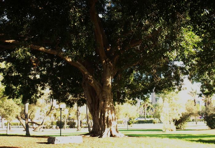 Фикус-баньян-смоковница. Фото: Хава Тор/Великая Эпоха (The Epoch Times)