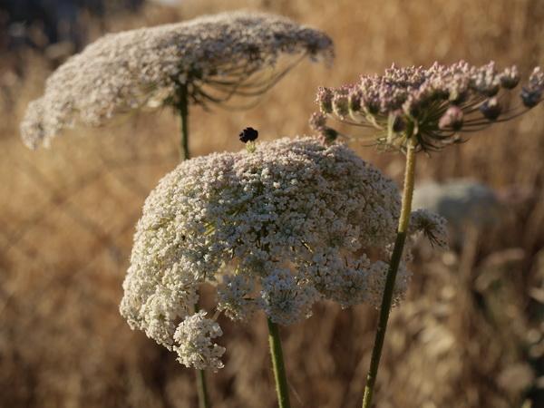 О диких растениях «золотого» города. Дикая морковь. Фото: Хава ТОР/Великая Эпоха