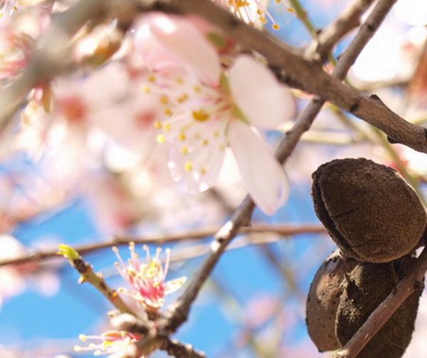 Цветет миндаль. Фото: Хава ТОР/Великая Эпоха