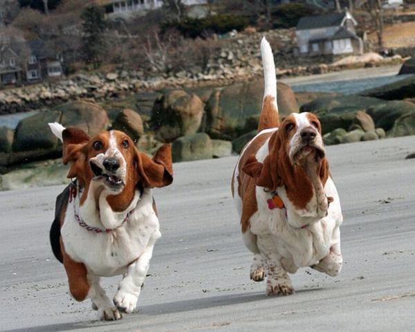Собаки. Порода бассет-хаунд. Фото: animalworld.com.ua