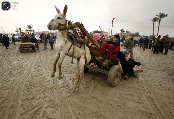 Палестинская семья упала с запряженной ослом телеги после пересечения границы между Сектором Газа и Египтом 27 января 2008 года. Фото:bigpicture.ru
