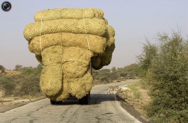 Перегруженный грузовик с тюками рисовых стеблей недалеко от Россо. Фото:bigpicture.ru