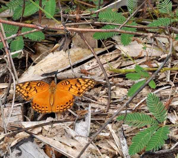 Гайяна. Ранчо Каранамбу. Оранжевая бабочка. Фото: Елизавета Кирина/tecnolux.ya.ru