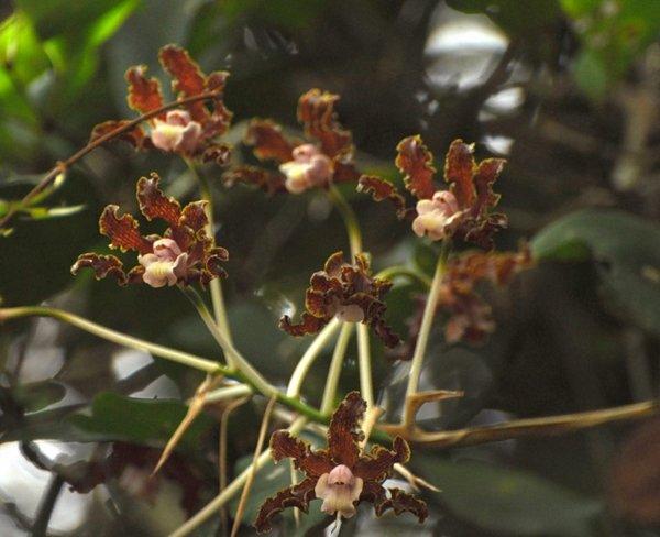 Гайяна. Ранчо Каранамбу. Дикие орхидеи. Фото: Елизавета Кирина/tecnolux.ya.ru