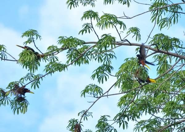 Гайяна. Ранчо Каранамбу. Птицы, вьющие гнезда. Фото: Елизавета Кирина/tecnolux.ya.ru