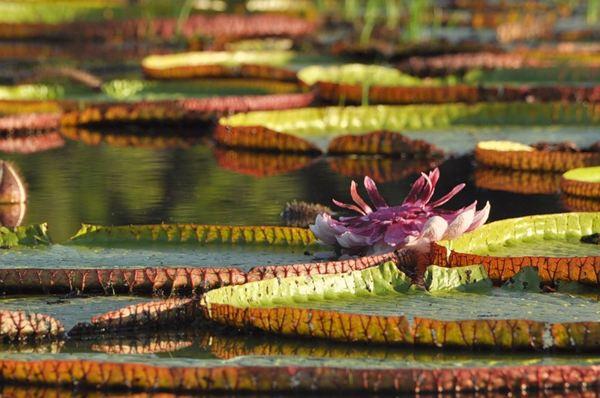 Гайяна. Ранчо Каранамбу. Цветок Виктории Амазонской. Фото: Елизавета Кирина/tecnolux.ya.ru