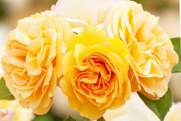 Цветы - очарование и благоуханье наступившего лета. Фото: Jaris