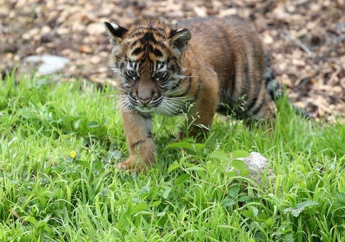 Рождённый два месяца назад суматранский тигрёнок впервые показался публике 12 апреля в зоопарке Сан-Франциско в США. Фото: Justin Sullivan/Getty Images
