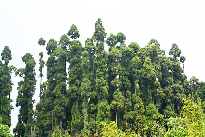Разновидность хвойных деревьев обладает ароматной и красивой древесиной. Сухие веточки жители используют для благовоний. Дарджилинг.Darjeeling. Фото: Сима Петрова/Великая Эпоха (The Epoch Times)