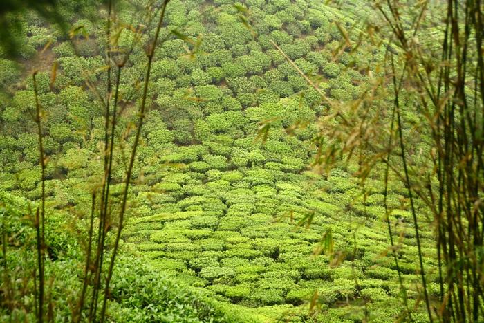 Чайные плантации в Сиккиме. Sikkim. Фото: Сима Петрова/Великая Эпоха (The Epoch Times)