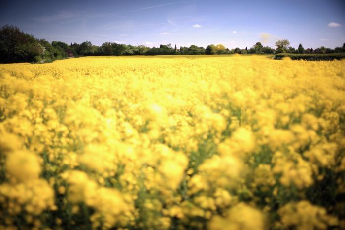 Золотые поля рапса и лютиков цветут близ Стаффорда. Фото: Christopher Furlong/Getty Images