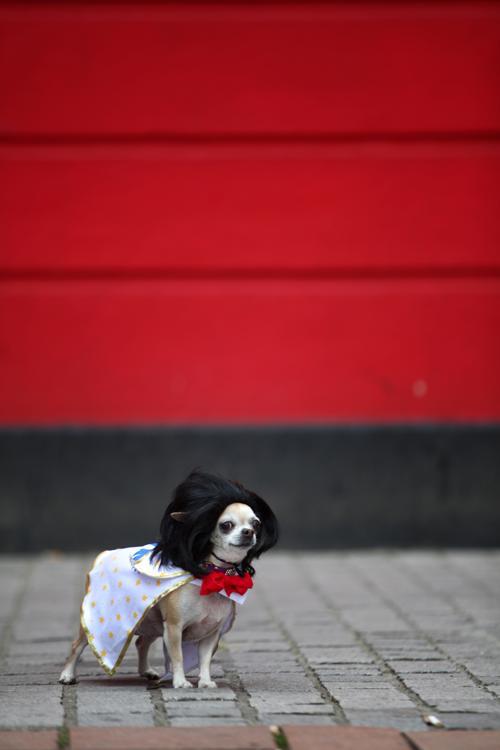 Бетти, чихуахуа, одета как Элвис Пресли на параде в Лондоне Фото: Jordan Mansfield/Getty Images