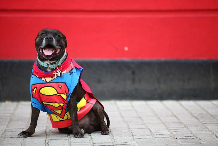 Ty, стаффордширский бультерьер, одет как Супермен на параде в Лондоне Фото: Jordan Mansfield/Getty Images