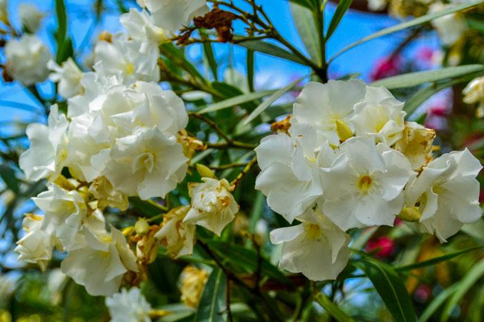 Красивые, но ядовитые цветки кустарника олеандра. Фото: Пётр Корнеев