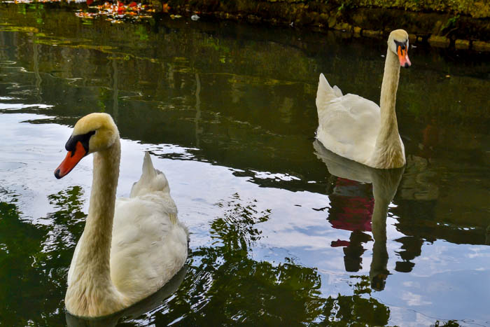 Лебеди в Новоафонском парке. Фото: Пётр Корнеев