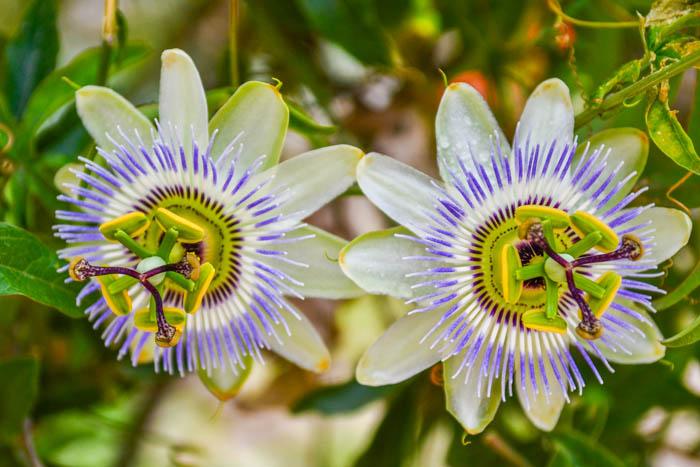 Красивые цветы в Новом Афоне. Фото: Пётр Корнеев
