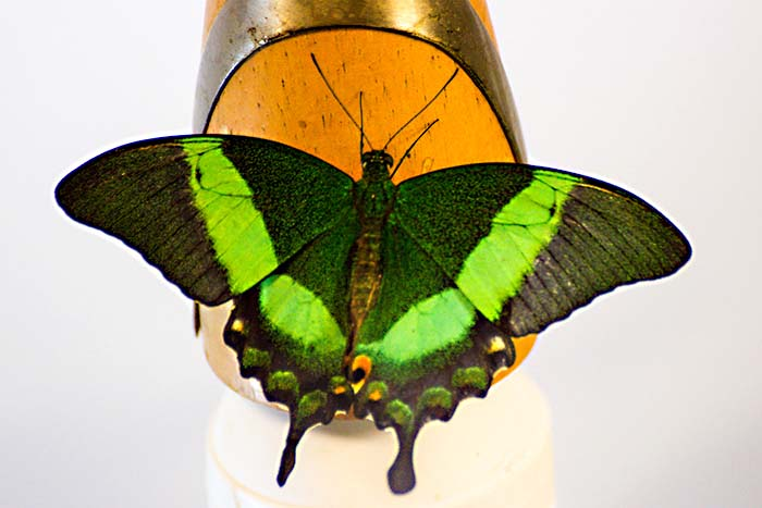 Музей живых бабочек «Тропический Рай» в Санкт-Петербурге. Фото: Олег Луценко/Великая Эпоха (The Epoch Times)