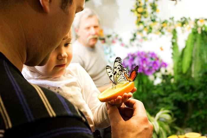 Калило бабочка