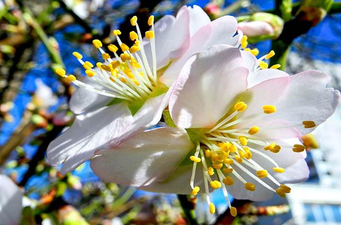 В Крыму цветёт миндаль. Фото: Алла Лавриненко /Великая Эпоха (The Epoch Times)