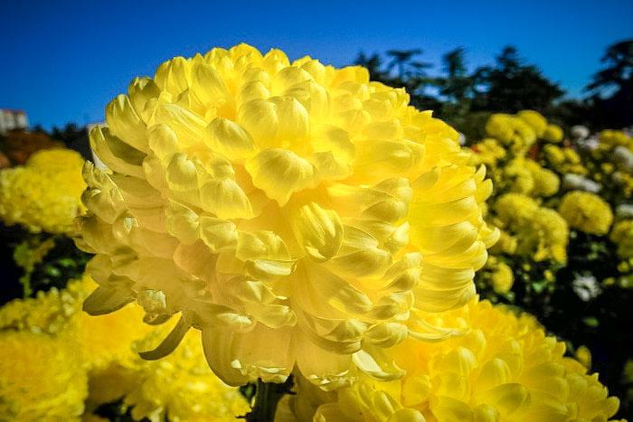 «Бал хризантем» в Никитском ботаническом саду. Сорт «Апельсиновый шар». Фото: Алла Лавриненко/Великая Эпоха (The Epoch Times)