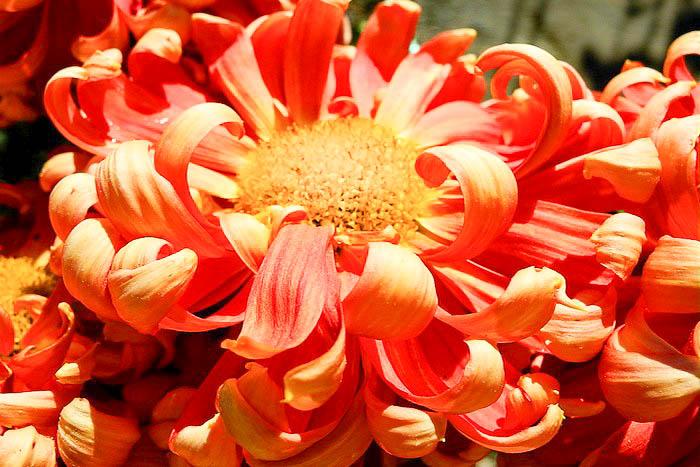 «Бал хризантем» в Никитском ботаническом саду. Сорт «Сказка». Фоторепортаж. Фото: Алла Лавриненко/Великая Эпоха (The Epoch Times)