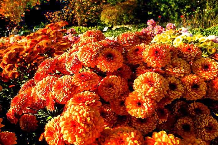 «Бал хризантем» в Никитском ботаническом саду. Сорт Lexy. Фото: Алла Лавриненко/Великая Эпоха (The Epoch Times)