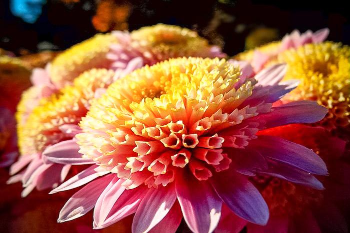 «Бал хризантем» в Никитском ботаническом саду. Сорт Медея. Фото: Алла Лавриненко/Великая Эпоха (The Epoch Times)