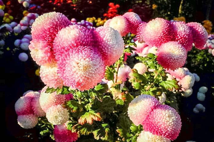 «Бал хризантем» в Никитском ботаническом саду. Принцесса бала 2013 Ping Pong. Фото: Алла Лавриненко/Великая Эпоха (The Epoch Times)
