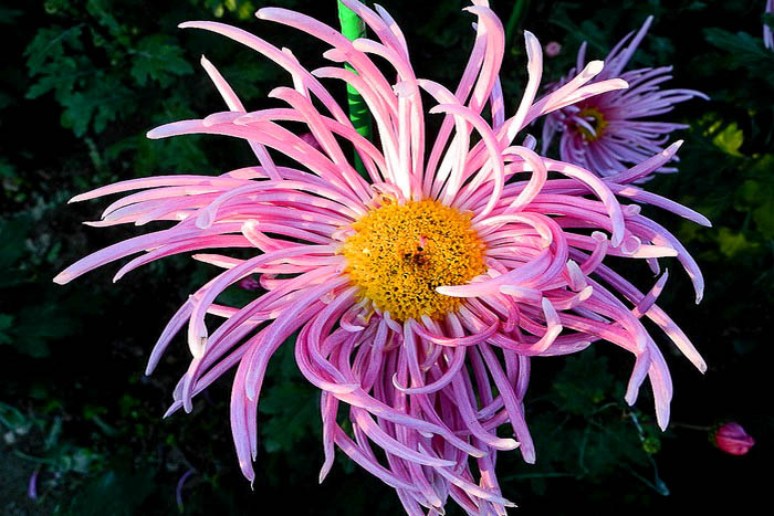 «Бал хризантем» в Никитском ботаническом саду. Фото: Алла Лавриненко/Великая Эпоха (The Epoch Times)