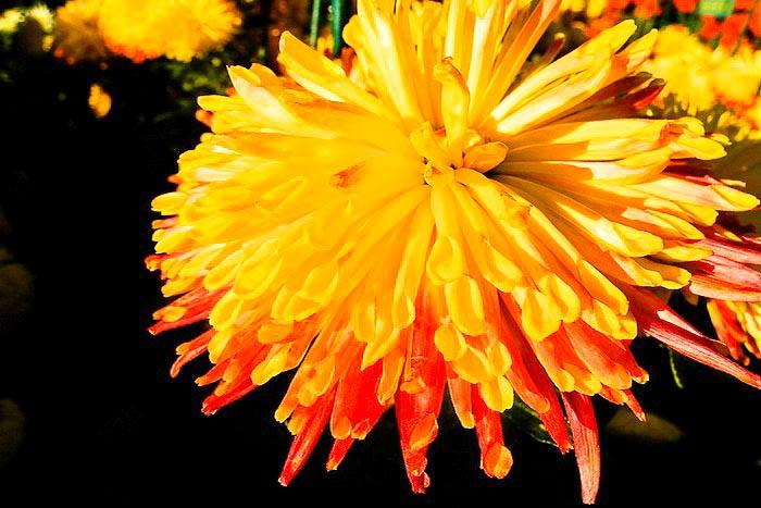 «Бал хризантем» в Никитском ботаническом саду. Королева бала 2013 Natasha.  Фото: Алла Лавриненко/Великая Эпоха (The Epoch Times)