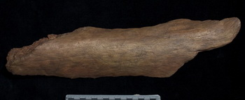 Рисунок на кости возрастом 13 000 лет. Фото: Smithsonian Museum Conservation Institute