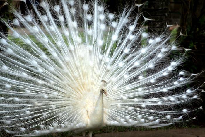Белый павлин. Фото: Shutterstock*