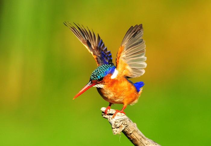 Малахитовый зимородок. Фото: Shutterstock*
