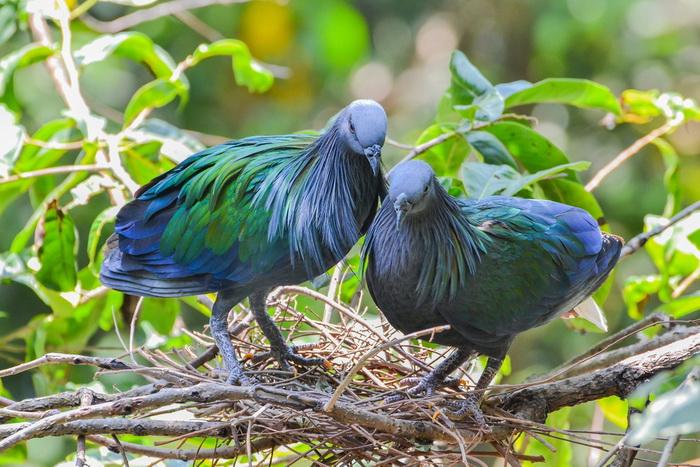 Никобарский голубь. Фото: Shutterstock*