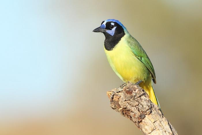 Зелёная сойка. Фото: Shutterstock*