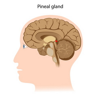 Красная секция показывает, где в головном мозге расположено шишковидное тело. Фото: Shutterstock*
