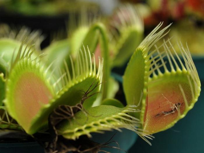 Венерина мухоловка (Dionaea muscipula) была показана во время открытия выставки насекомоядных растений в биопарке La Reserva, расположеном в предместье Боготы, 13 января 2012 г. Фото: Guillermo Legaria/AFP/Getty Images