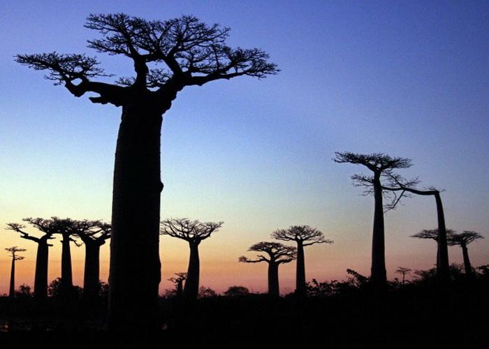 Древние баобабы вырисовываются в сумраке на фоне заката около Морондавы, в 700 километрах к юго-западу от Антананариву, столицы Мадагаскара, 23 июля 2007 г. Малагасийское правительство недавно объявило территорию в 320 гектар, где произрастают баобабы, охраняемой зоной. Фото: Gregoire Pourtier/AFP/Getty Images