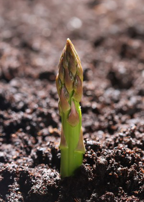 Аспарагус — молодой побег спаржи — высшее споровое растение. Фото: Shutterstock*