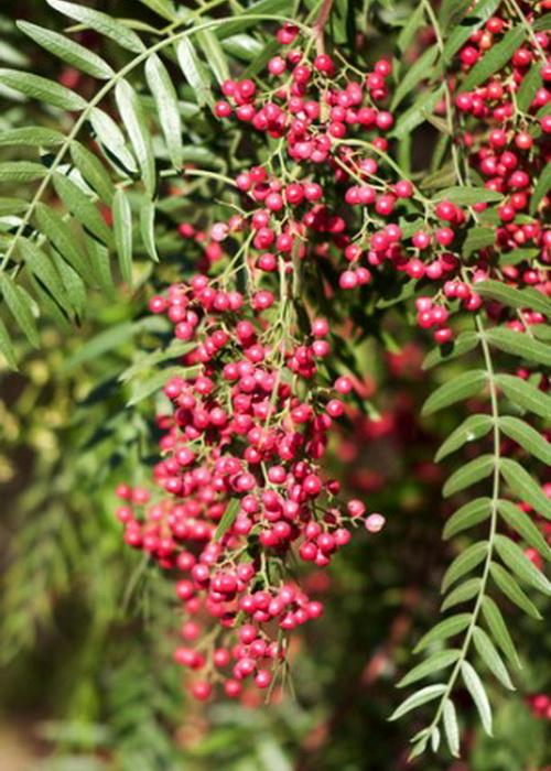 Розовый перец вырастает на дереве, он ни в коем случае не связан с обычным перцем. Фото: Shutterstock*