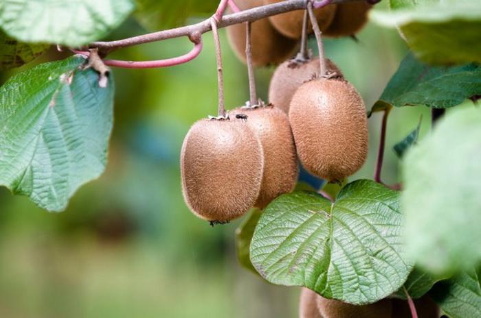 Киви — ягода, растущая на вьющейся лозе. Фото: Shutterstock*